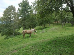 A Haflinger mare and foal