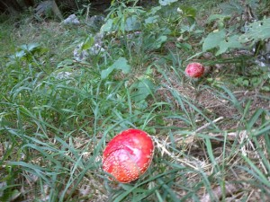 Mind-bogglingly red mushrooms