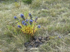 Now that's Slovenia -freakishly blue flowers growing from a pile of horse manure